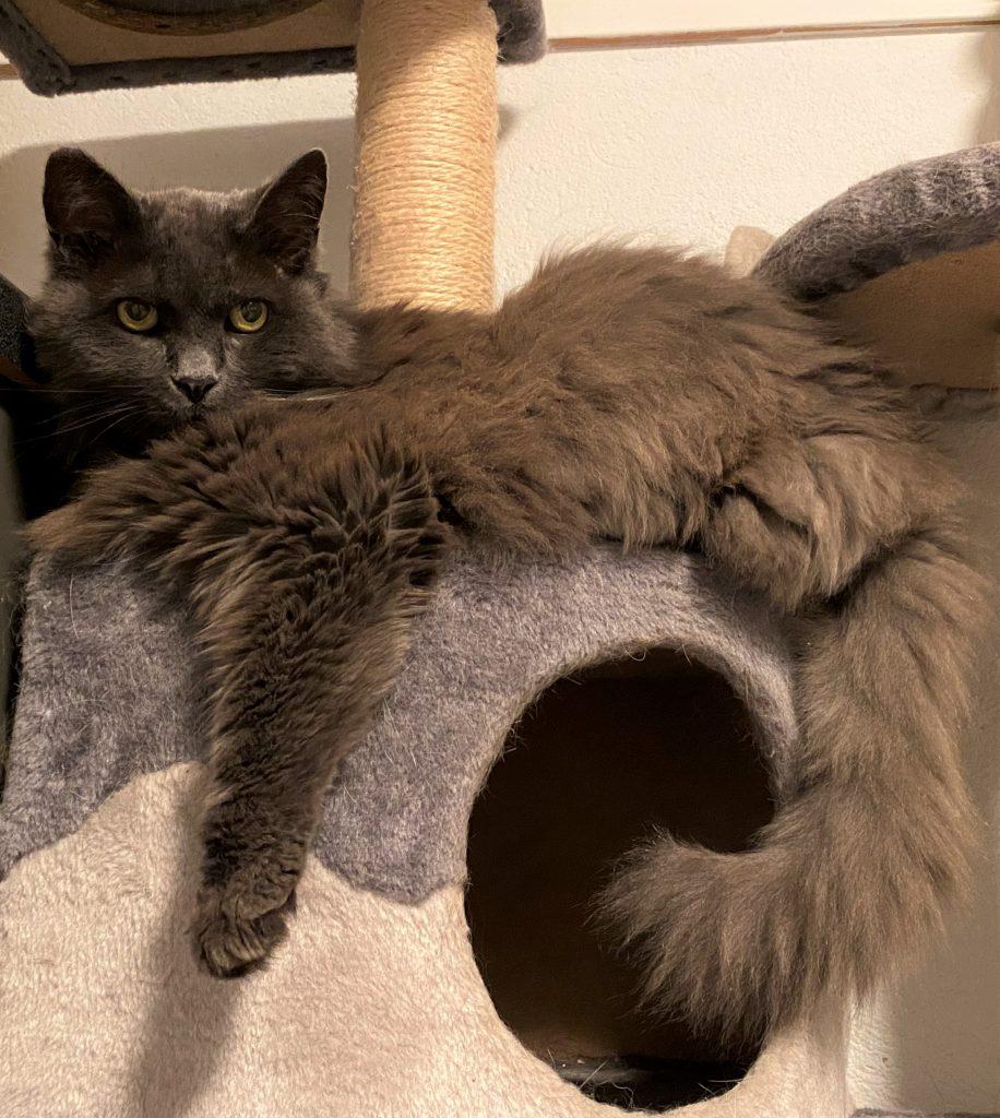 Kitty ligger på kloretårnet med den ene forlabben hengende ned, og den flotte halen også.