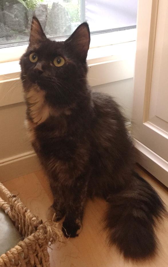 Melody sitter på gulvet med sin flotte hale. Hun er en tricolor med lang pels.
