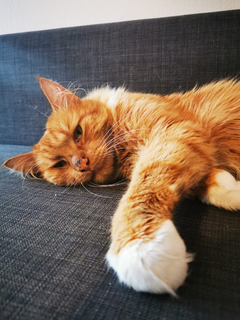 Tobasco ligger med hodet ned på en grå sofa og ene labben trukket frfem