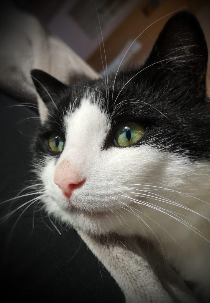 Nærbilde av Sofus, sett fra siden. Han har sort pels rundt øynene og på toppen av hodet, hvit pels mellom øynene, på nesen, kinnene og under haken.