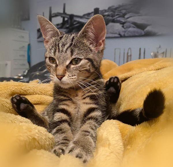 Samanta sitter på et gult teppe med bakbena opp på siden og forbena strukket fram mot kamera. Hun er helt nydelig med flott tigerpels og sorte jelly bean poter